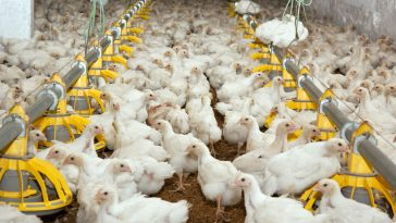tips ternak ayam potong cepat panen